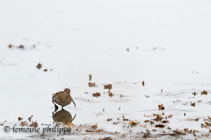 Bécassine des marais