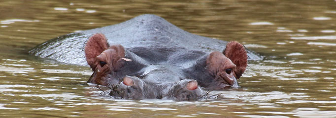 Hippo - Kruger NP by Ralf Mayer