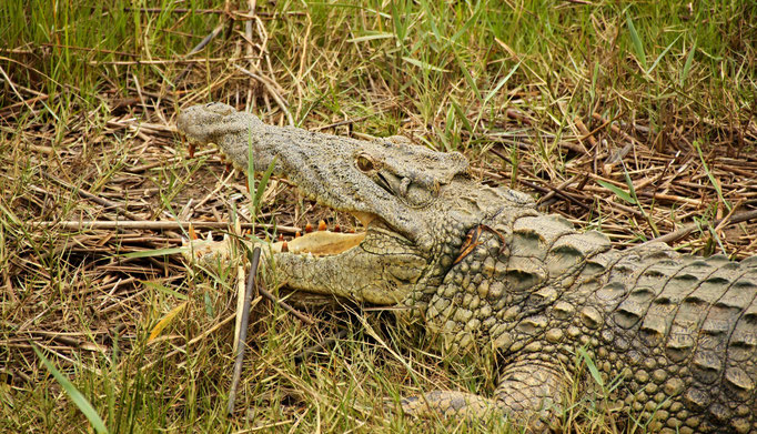 Crocodile - Kruger NP by Ralf Mayer
