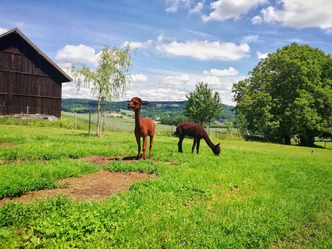 Zwei Alpaka beim fressen auf der Weide