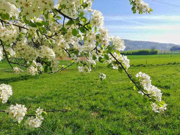 Obstbaum in der Blüte
