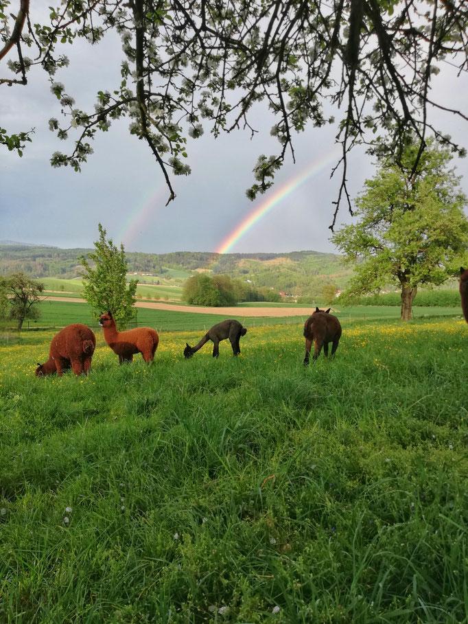 Alpakas unter einem Regenbogen