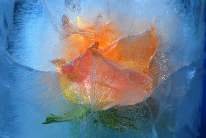 """2020 Januar """"Rose im Eis""""©Kurt Edler"""