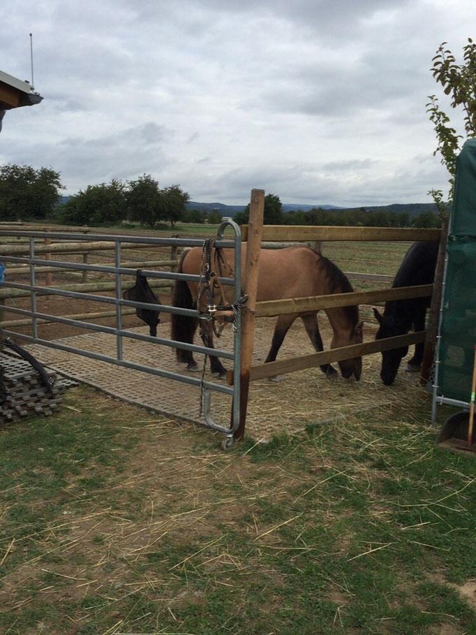 Pferde vor tierärztlicher Untersuchung
