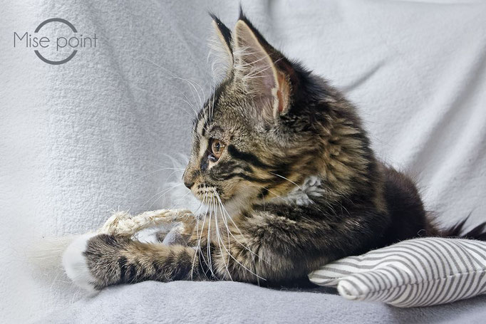 Maine Coon © Copyright Mise O point