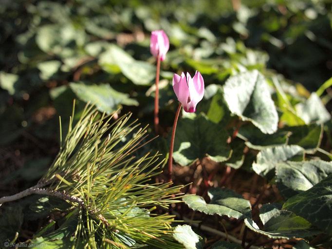 Shring. Photo, 03-2011