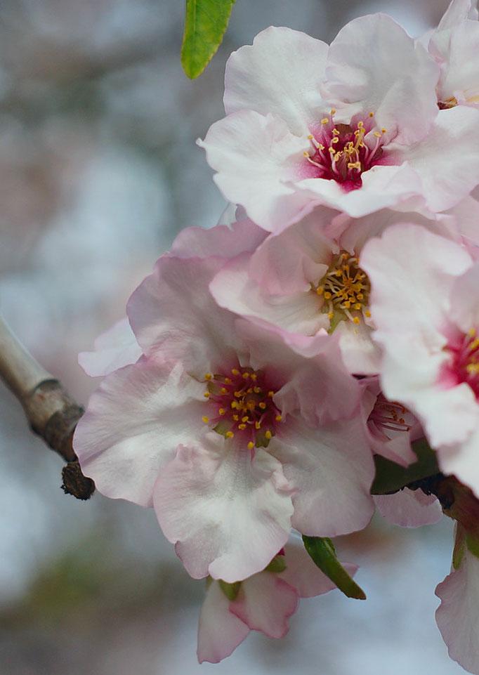 Blooming peach tree, 2014