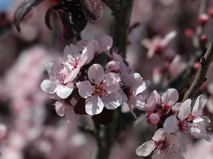 Flowering plum 2, 03-2012
