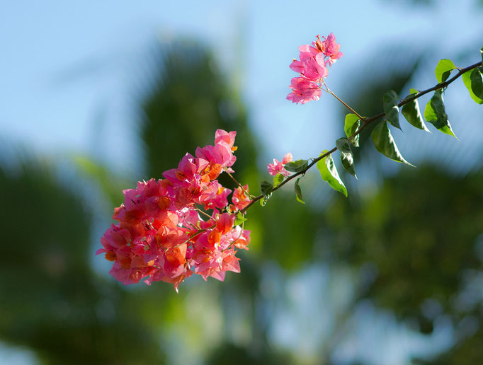 Bougainville and a Palm. 10-2012