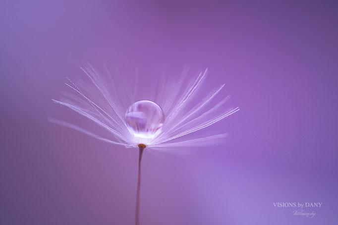 Pusteblumensamem mit Wassertröpfchen (Violett)