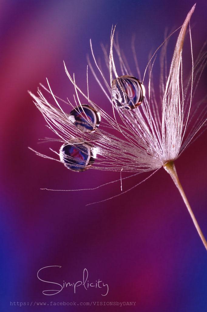 Pusteblumensamem mit drei Wassertröpfchen