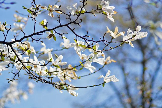 Weiße Magnolie