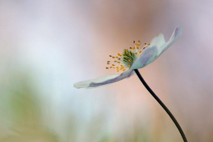 Weiße Waldanemone