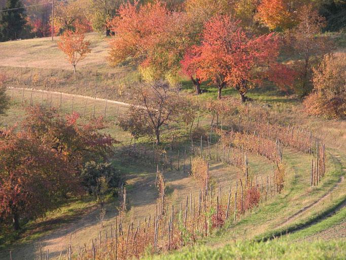 Vita e boschi in autunno -Vignale Monferrato