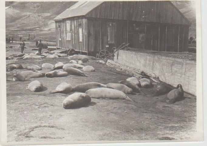 Остров Кергелен, Антарктида. Лежбище морских слонов. 1981 г