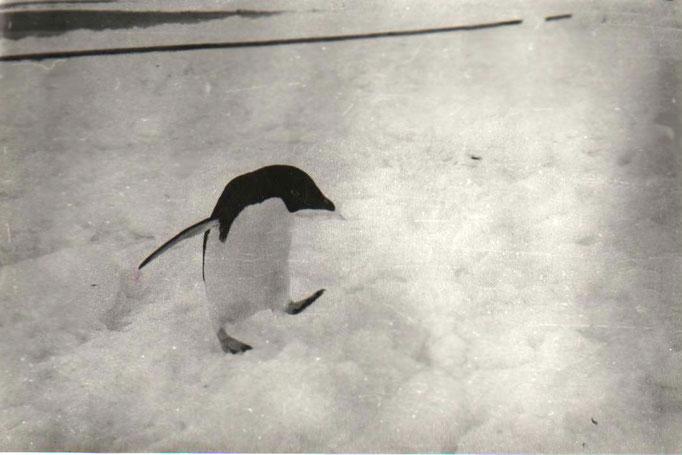 Антарктические жители - пингвины встречают полярников