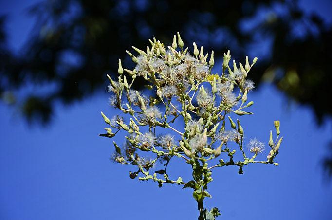 Blühender Pflücksalat, der Stamm bis zur Blüte 1,1 Meter lang - Leave lettuce in bloom, the trunk 1.1 meters long to bloom