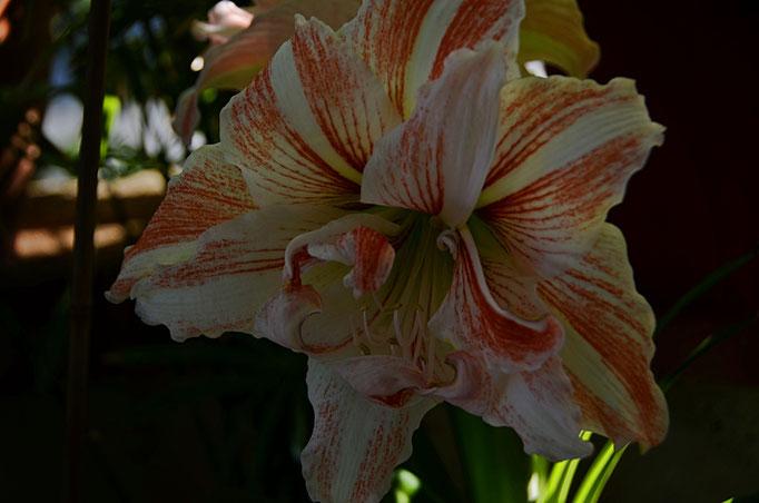 Diese Schönheit, ein Geschenk von Freundin G. die ich im Dezember ins Dunkle gestellt und erst Anfang Juni hervorgeholt habe. Wie dankbar Pflanzen doch sein können.