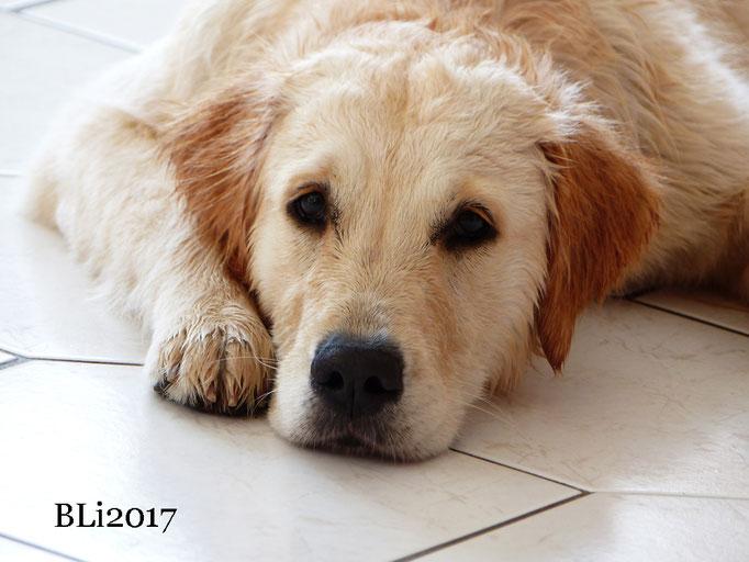 Maisie, nach der Dusche zu Hause - sieht wieder aus wie ein Golden und riecht auch wieder viiiiel besser