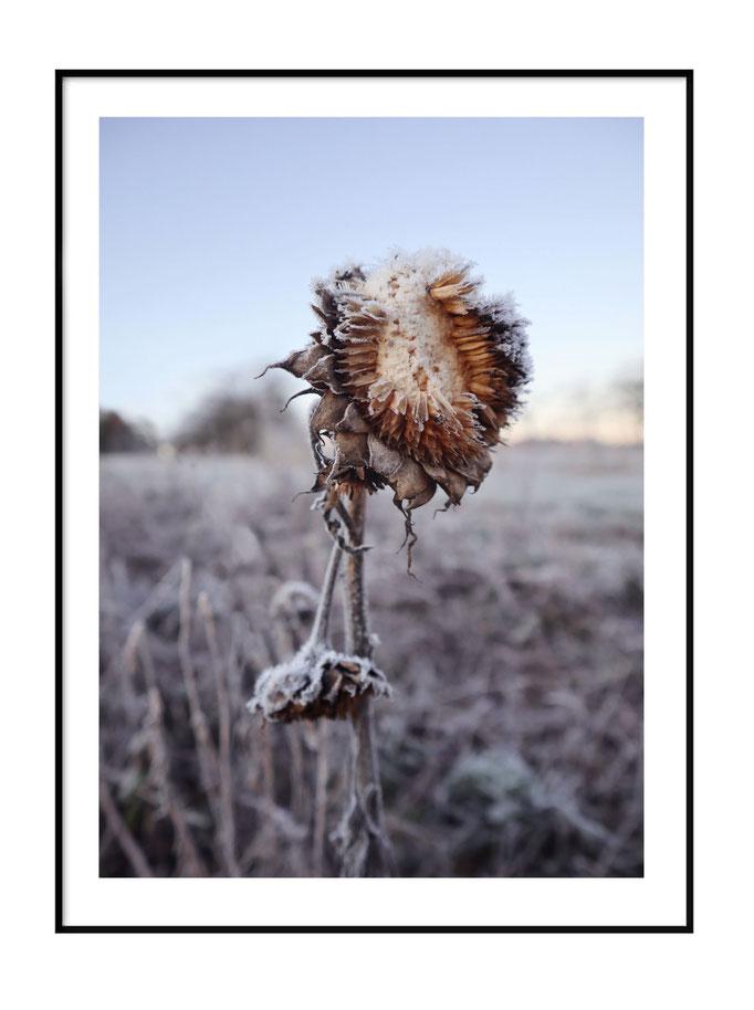 Wintersonnenblume