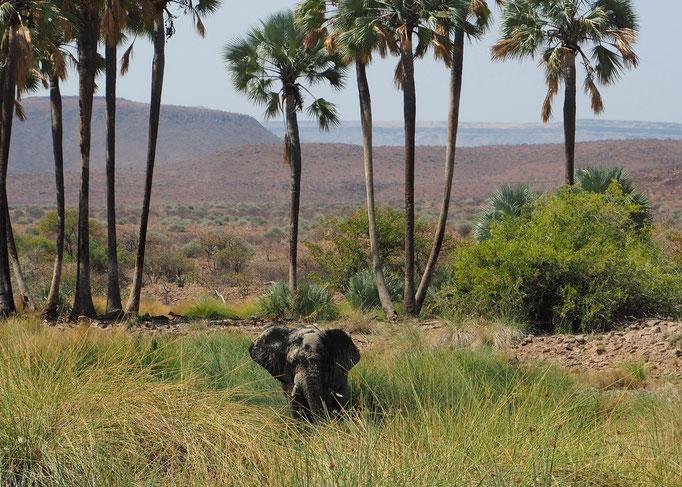 Eléphant du désert à Palmwag ; Namibie
