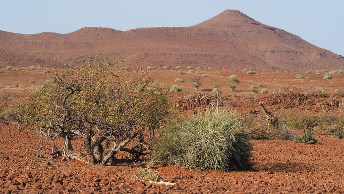 Girafe dans la concession de Palmwag ; Namibie