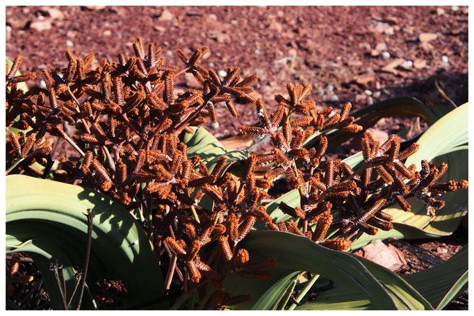 Welwitschia mirabilis de Namibie