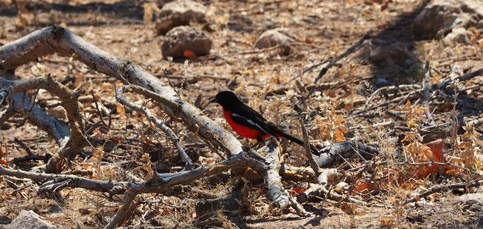 Le gonolek rouge et noir