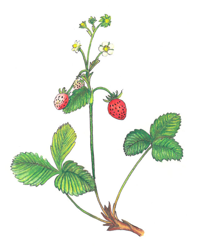 Woodland Strawberry / Walderdbeere