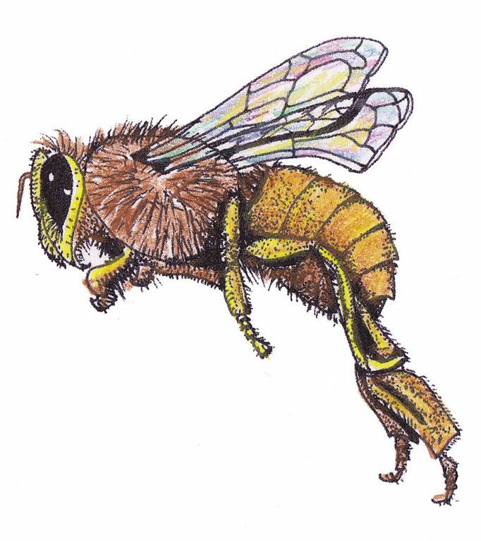 Honeybee / Honigbiene