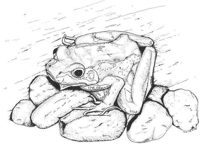 Grass Frog / Grasfrosch