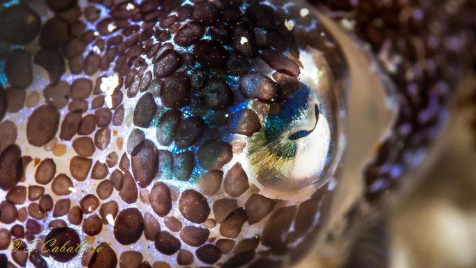 Auge vom Oktopus