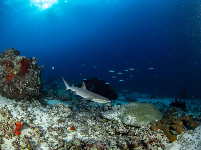 Diving Indonesia, Prince John Dive Resort North Point, Shark-Point