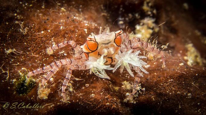 Diving Indonesia Boxer Crab