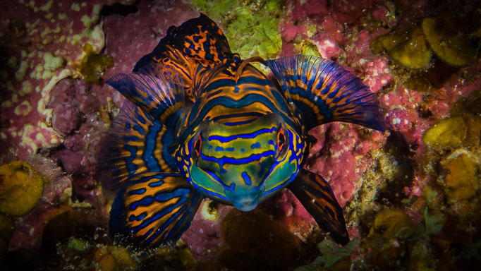 Diving Philippines Mandarin Fish