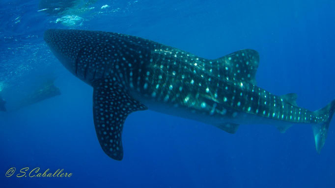 Diving Philippines Cebu Oslob Whale Shark