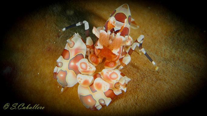Diving Indonesia Shrimp