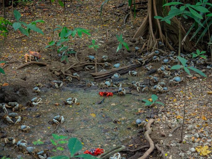 Crabs at Christmas Island Dales
