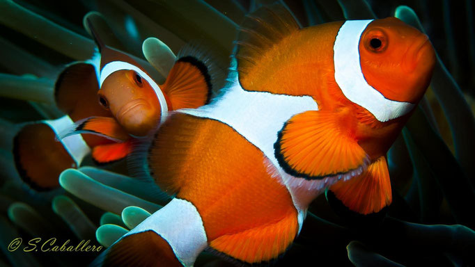 Diving Philippines Clown Fish