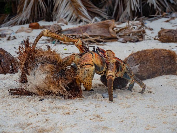 Christmas Island Robber Crab