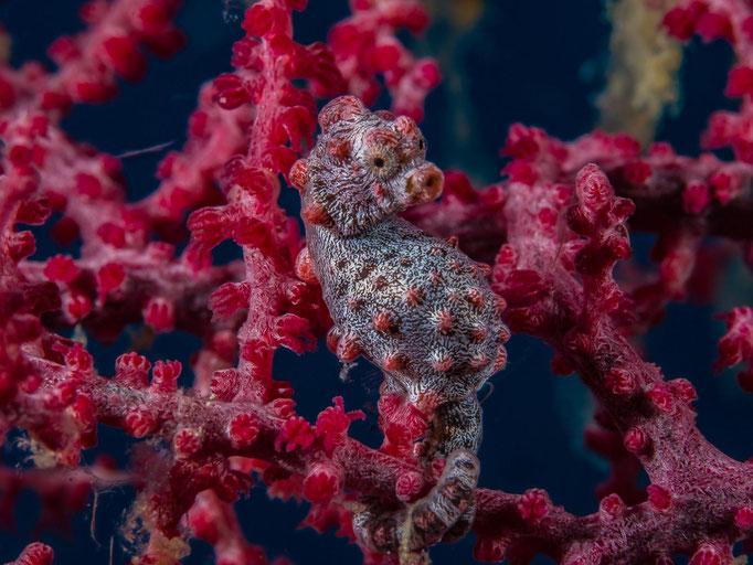 Diving Philippines Bohol Anda Pygmy Seahorse