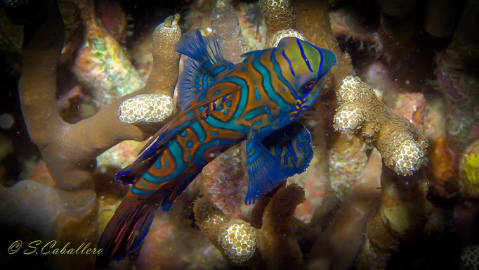 Diving Philippines Malapascua Island Mandarin Fish