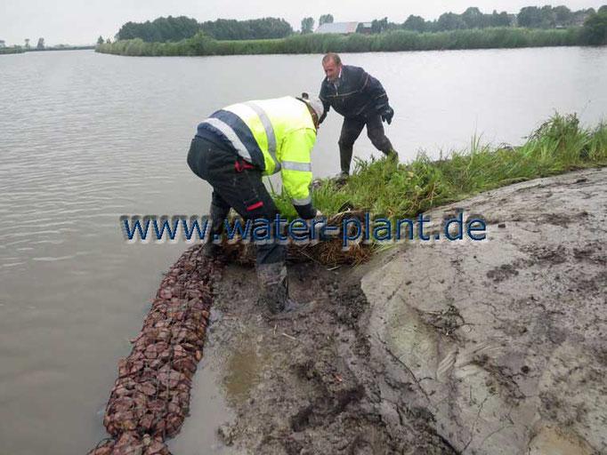 Röhrichtmatten werden in der Sumpfzone verlegt