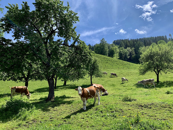 Kühe Biobauernhof Frechhof
