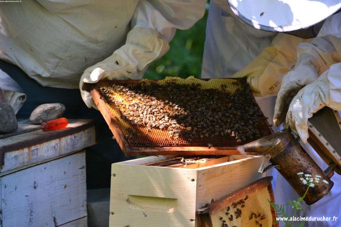 Observation d'un carde de ruche