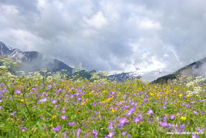 Prairie fleurie à Albiez Montrond
