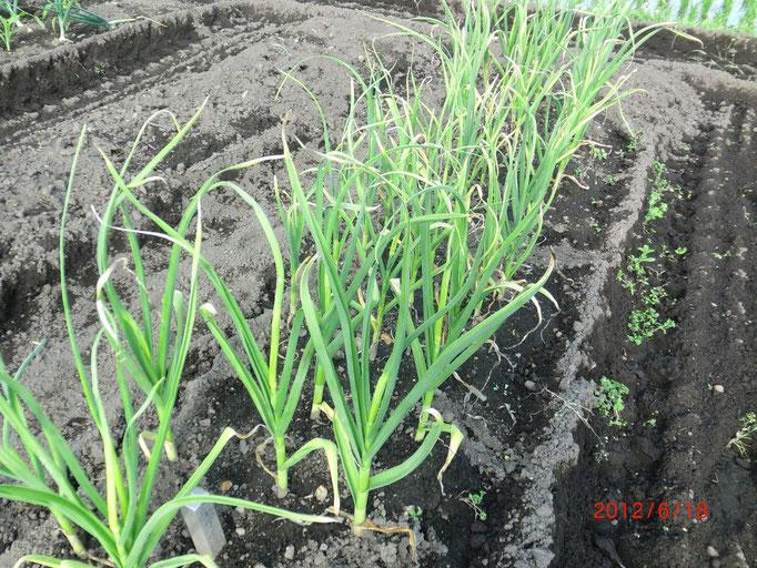 ニンニクで、もうじき収穫の時期ですね!