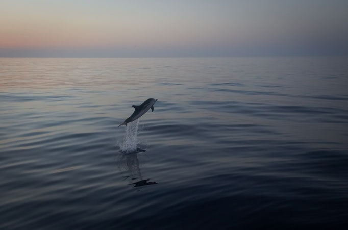 Dolphin at Sunset in the Mediterranean Sea around Sicily near Catania, Italy (2019)
