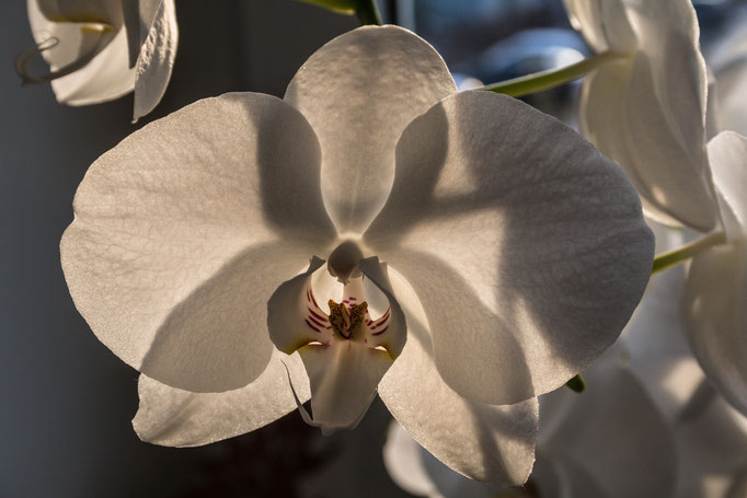 Orchid at home (2015)
