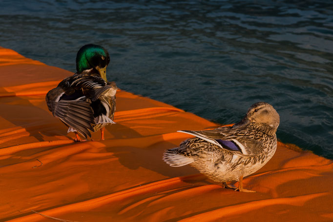 Ducks enjoying the additional surface over the Lago d'Iseo, Italy (The Floating Piers by Christo) (2016)
